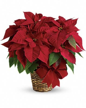 Poinsettia - Large