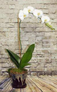 Orchid Plant White