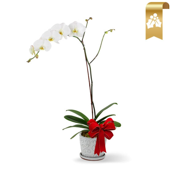 Holiday Orchid Plant White