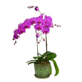 Sympathy Orchid Plant Double Stem Purple