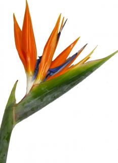 Add 3 Bird of Paradise