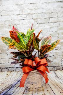 Croton Dressed For Fall 6""