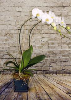 Orchid Plant Double Stem White