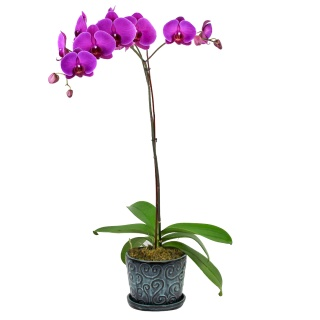 Orchid Plant Purple