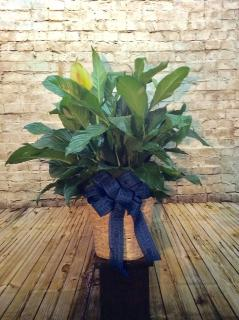 Police Peace Lily - 10in